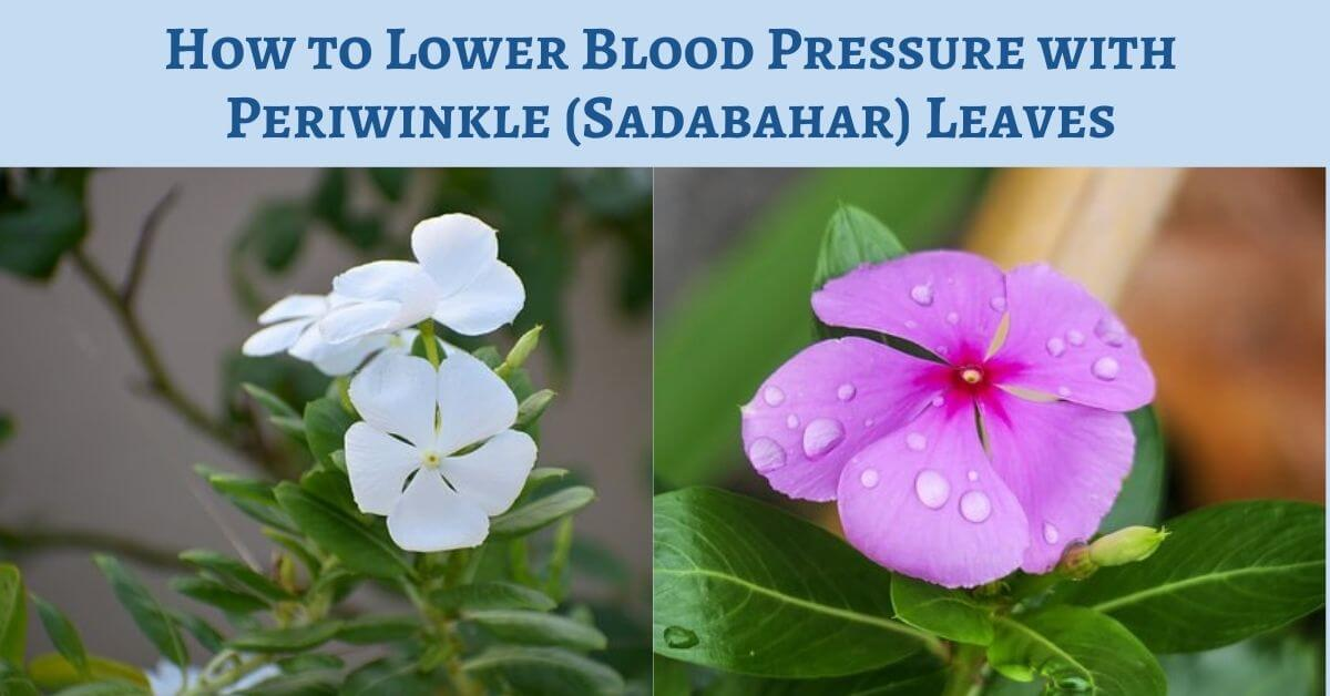 Lower Blood Pressure with Periwinkle