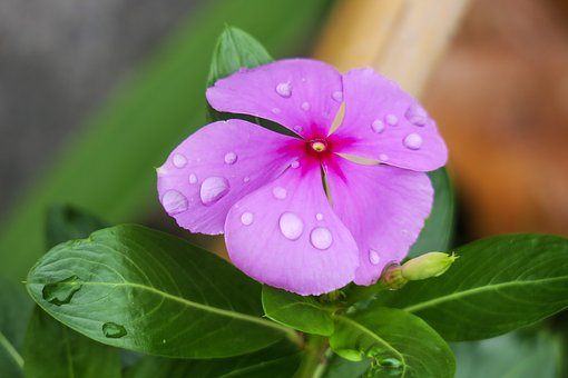 Periwinkle flower (Pinkish purple)